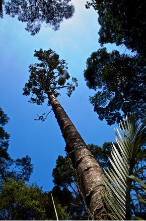 Futurewest Kauri tree